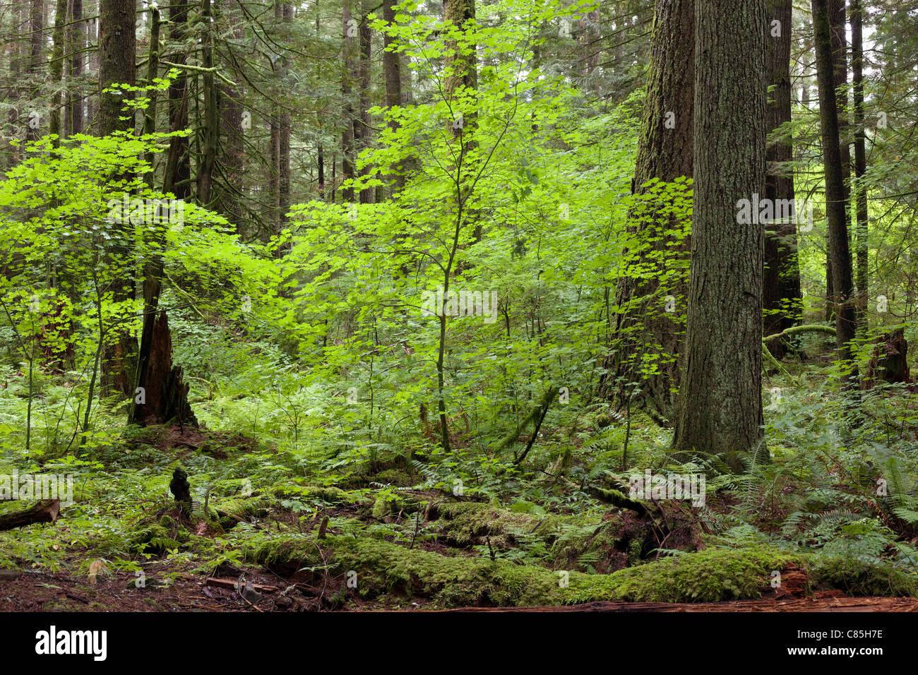 Virgin forest with high trees - Stock Image