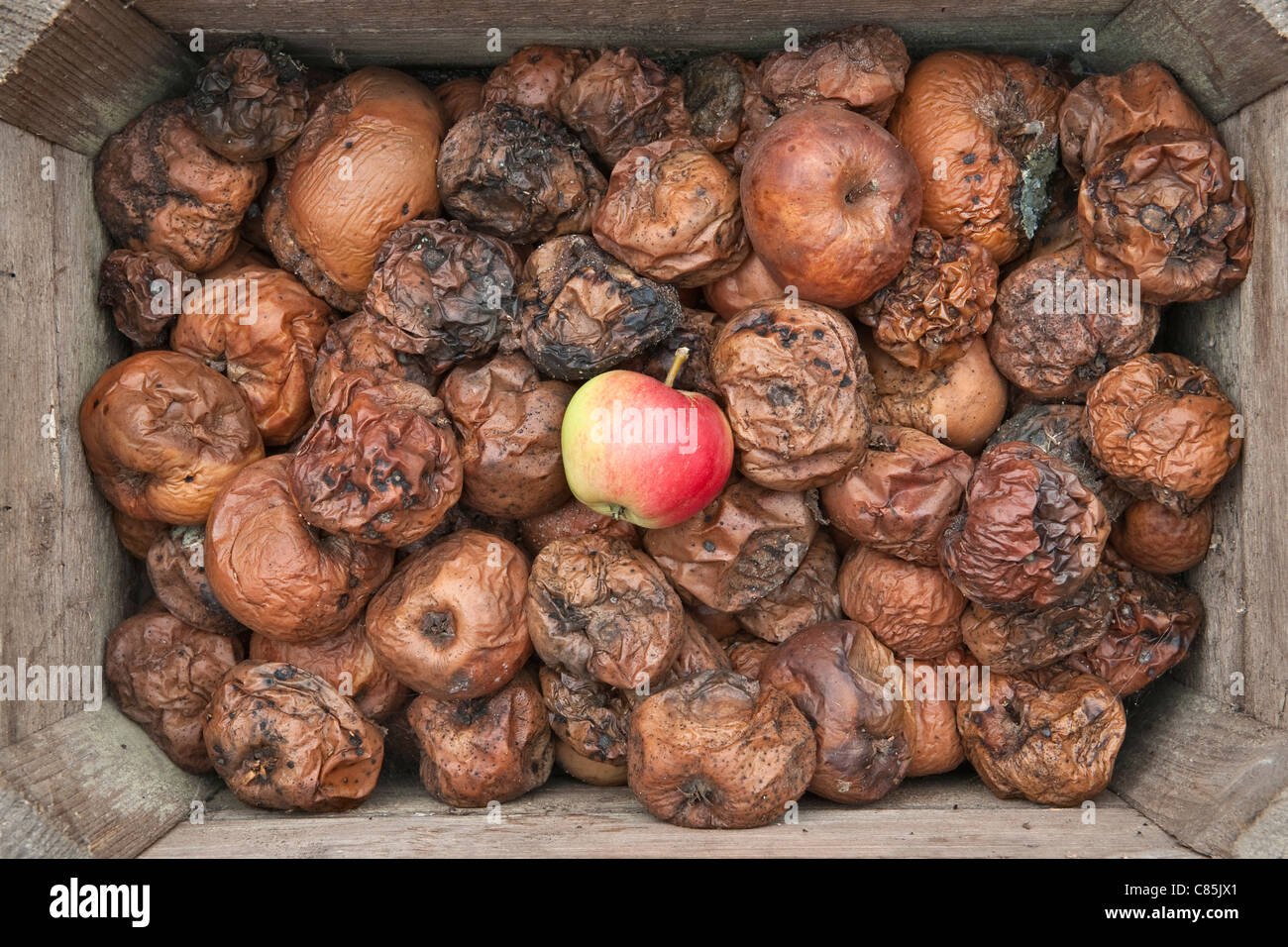 one good apple stands out in a box full of rotten apples stock photo