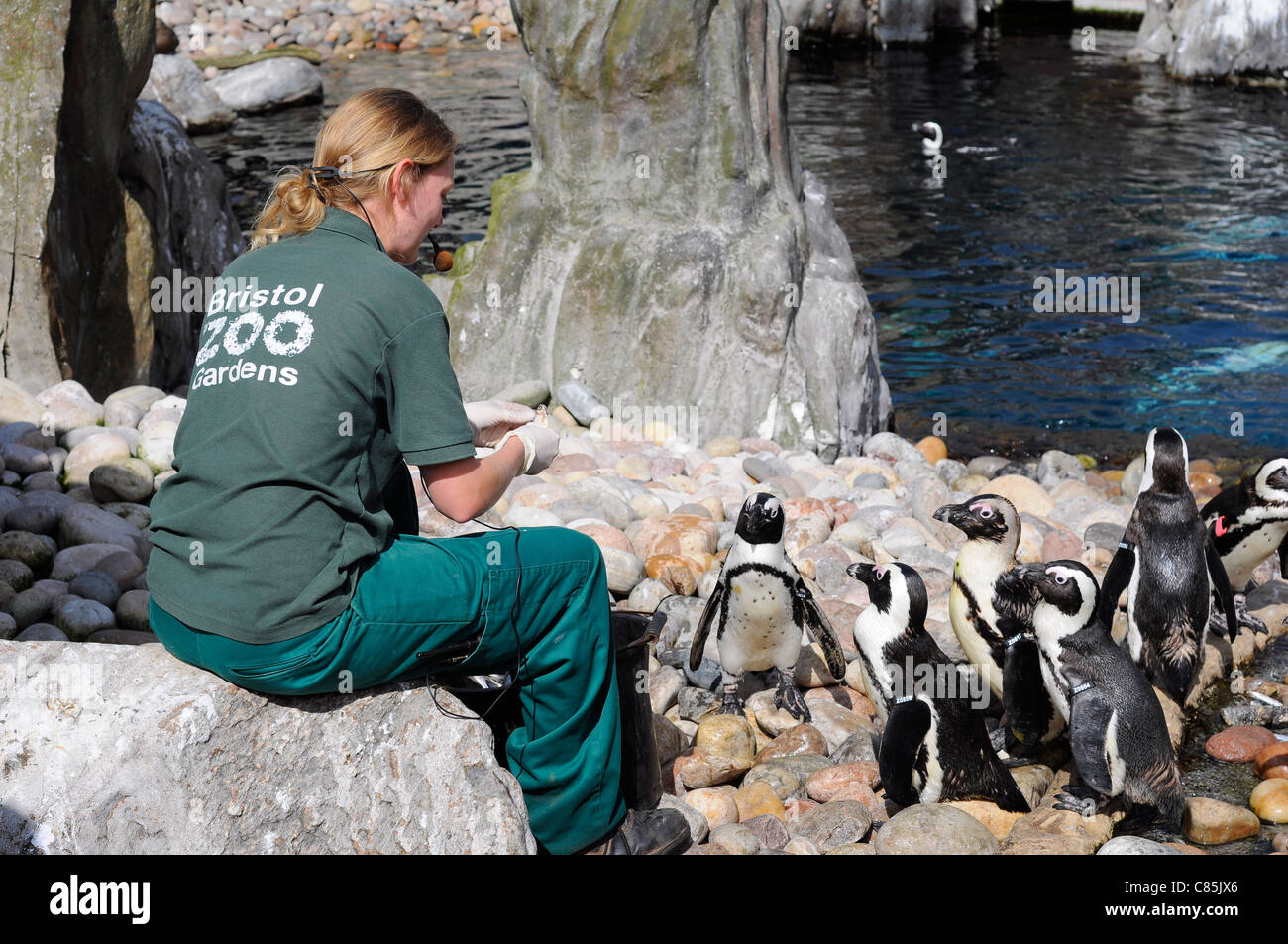 Zoo keeper at Bristol Zoo penguin enclosure feeds the penguins whilst giving a presentation. - Stock Image