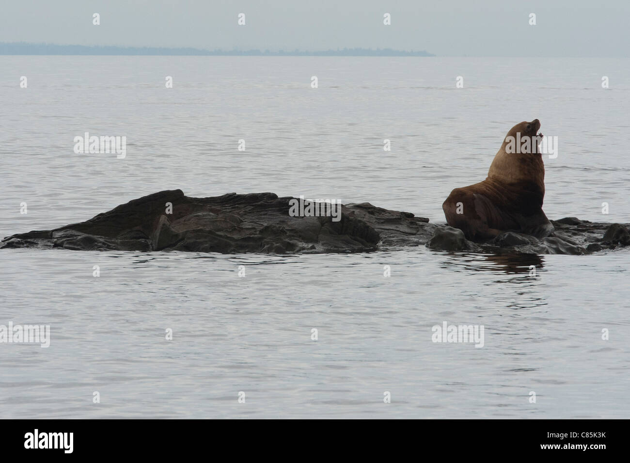 Stellar Sea Lions in the Strait of Georgia. - Stock Image