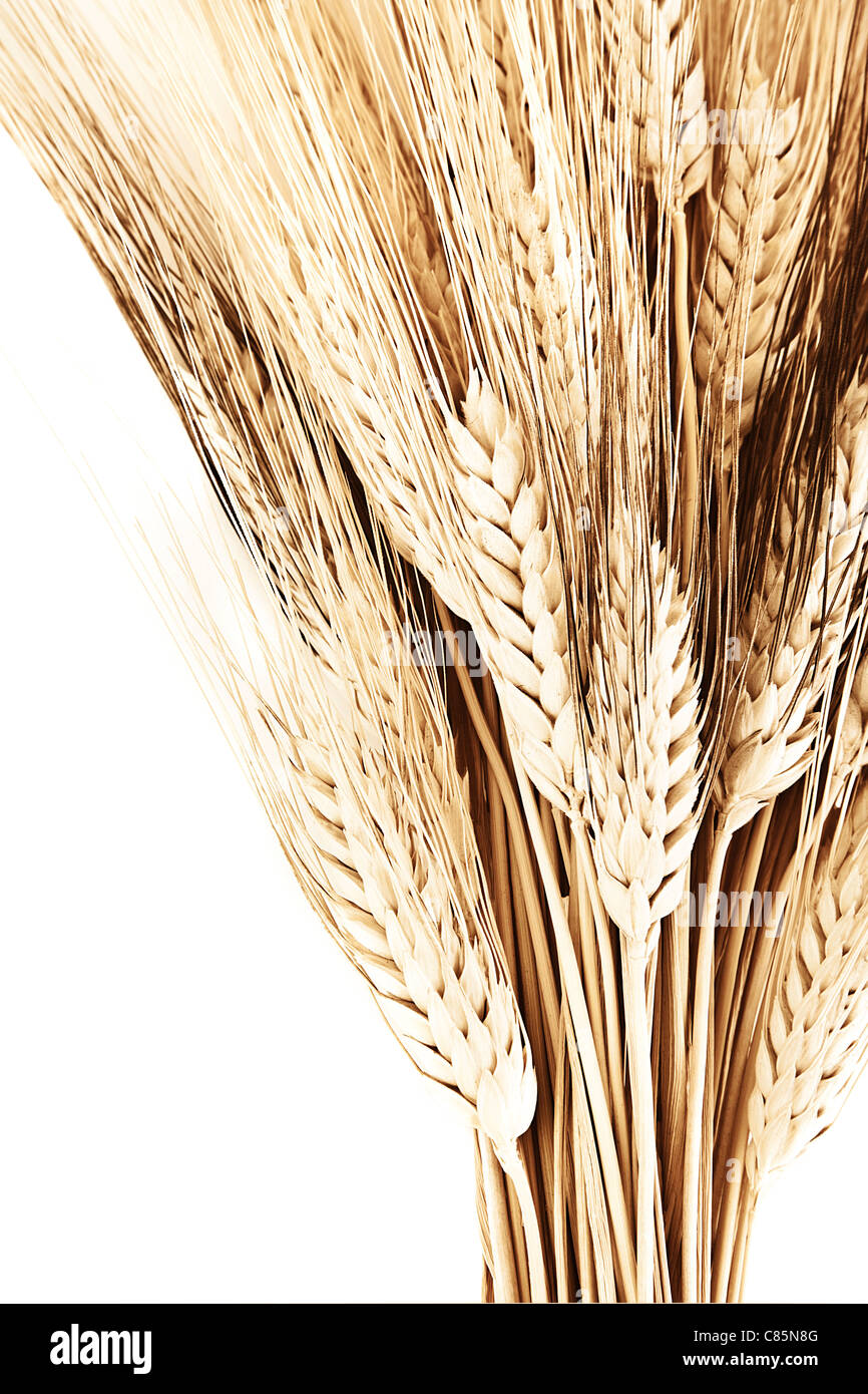 Wheat bouquet border, isolated on white background, closeup on autumn ripe plant, harvest concept - Stock Image