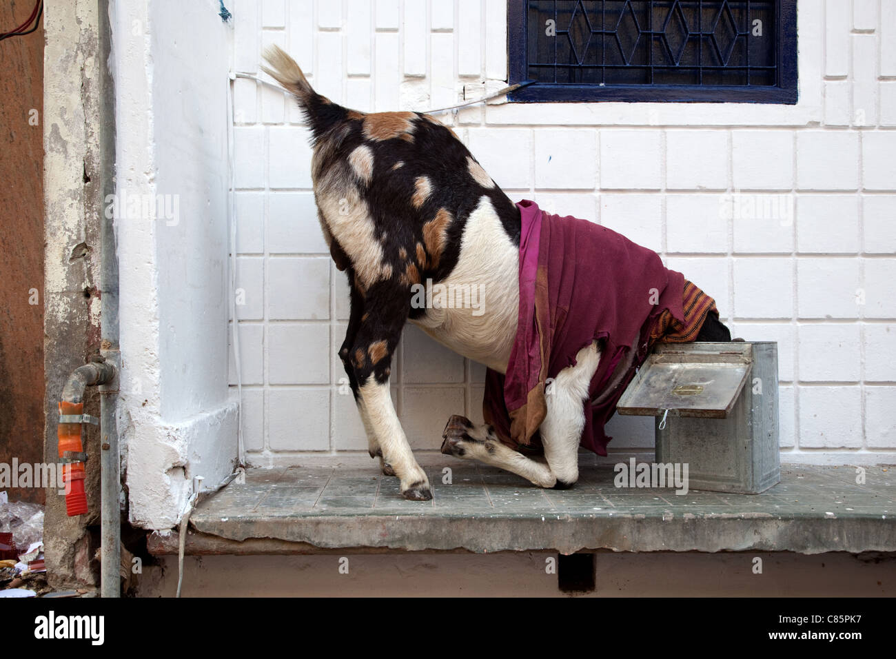 A goat wearing clothes in Agra, India. - Stock Image