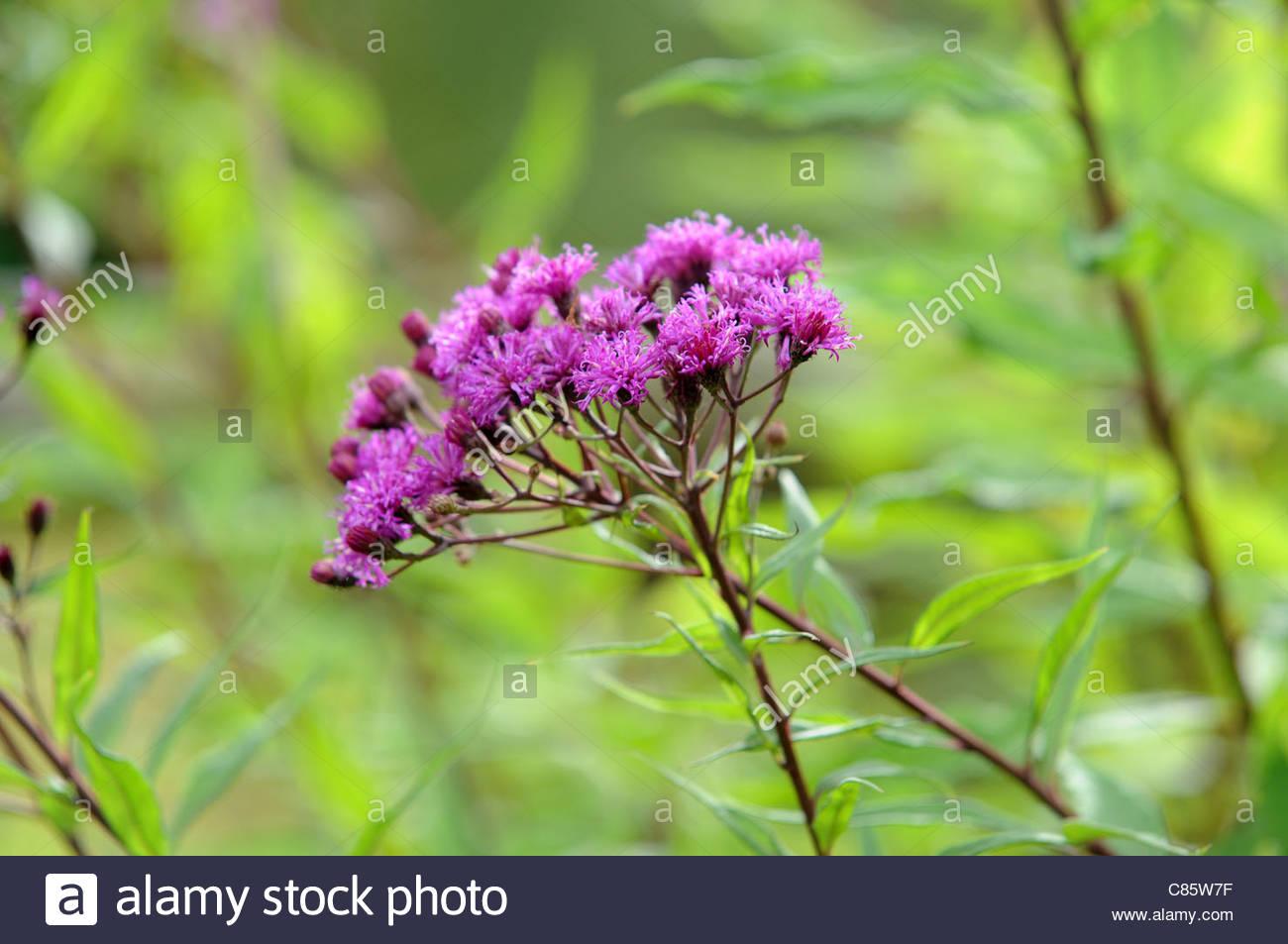 Vernonia arkansana - Stock Image