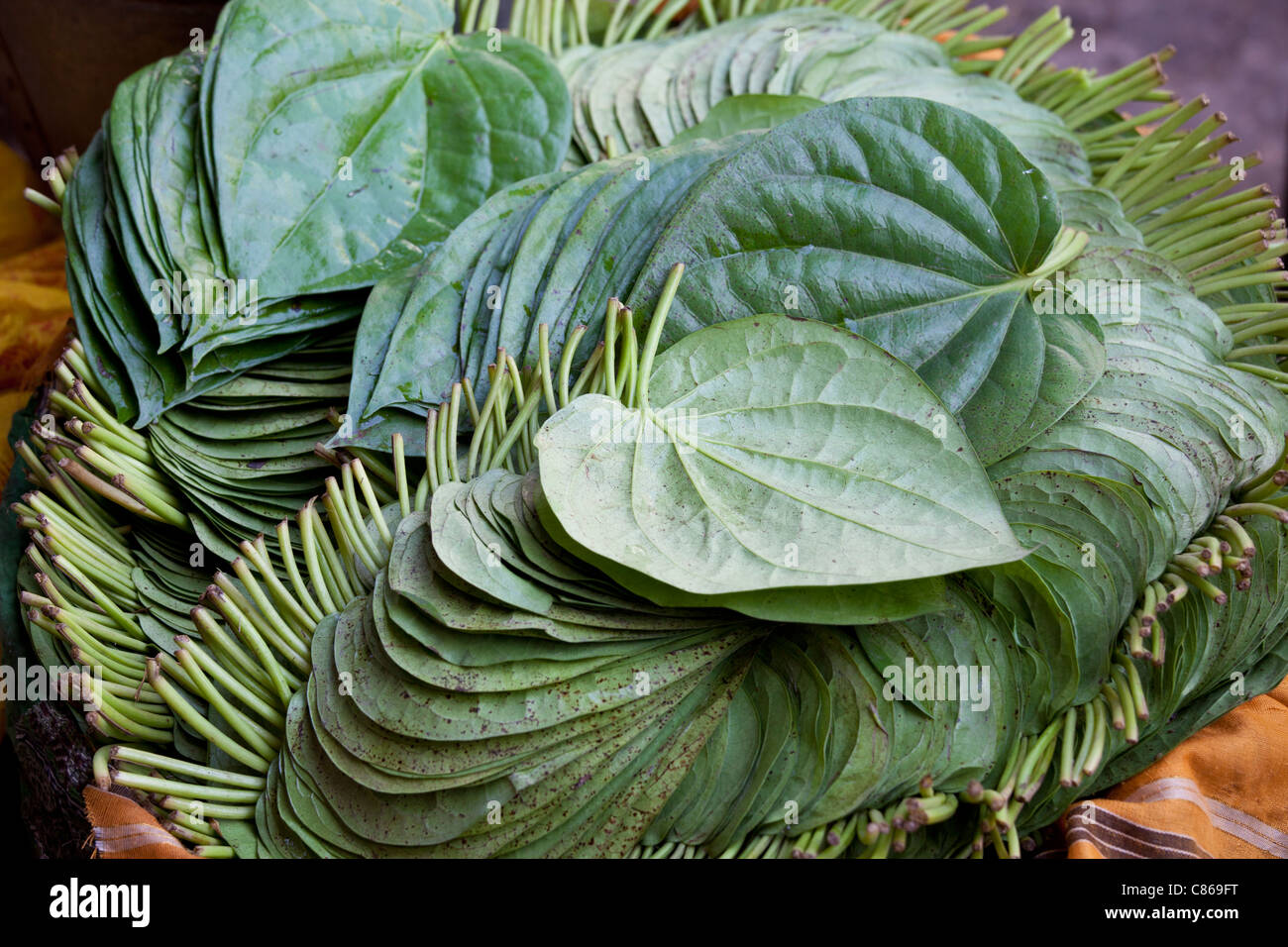 Betel leaves, Piper betle, on sale for medicinal use and as mild stimulant in Old Delhi at Khari Baoli spice market, - Stock Image