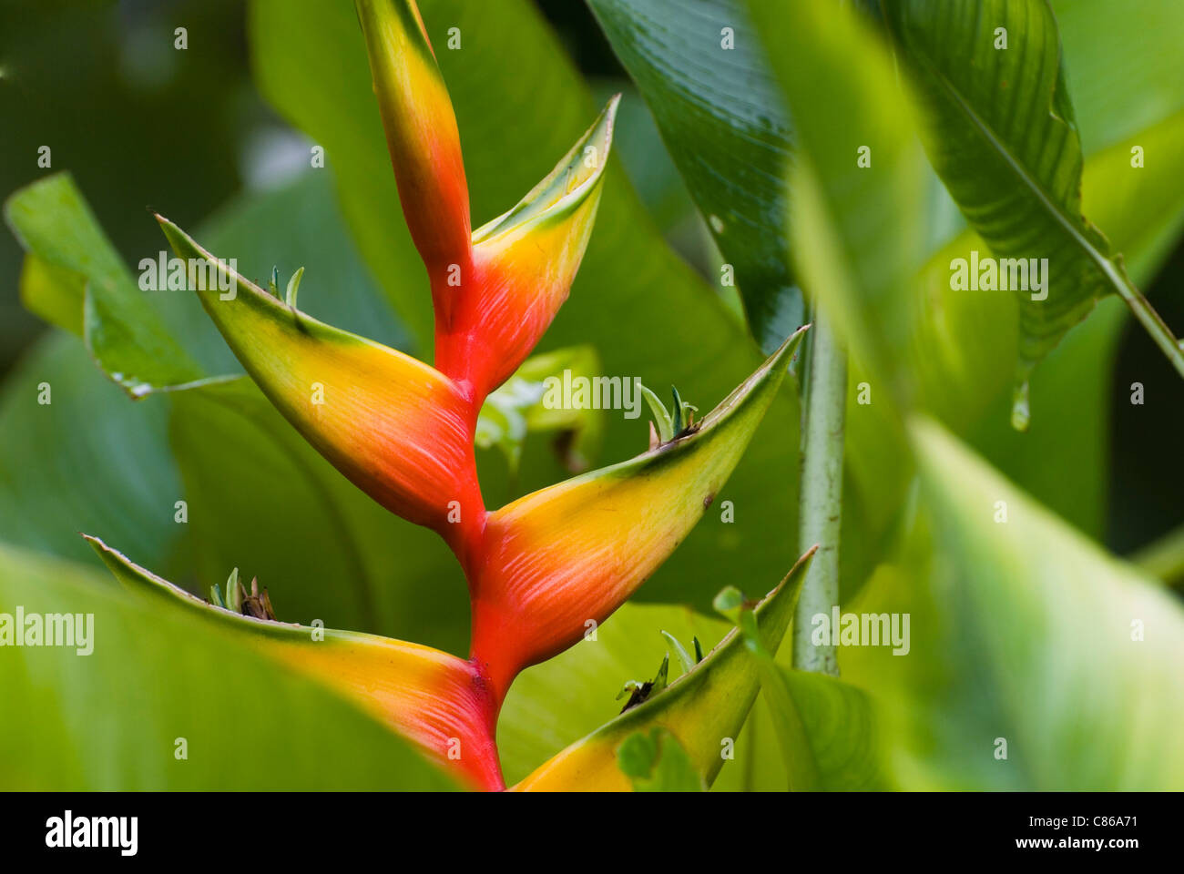Close up of Heliconia Bihai cv Nappi red flower. Stock Photo