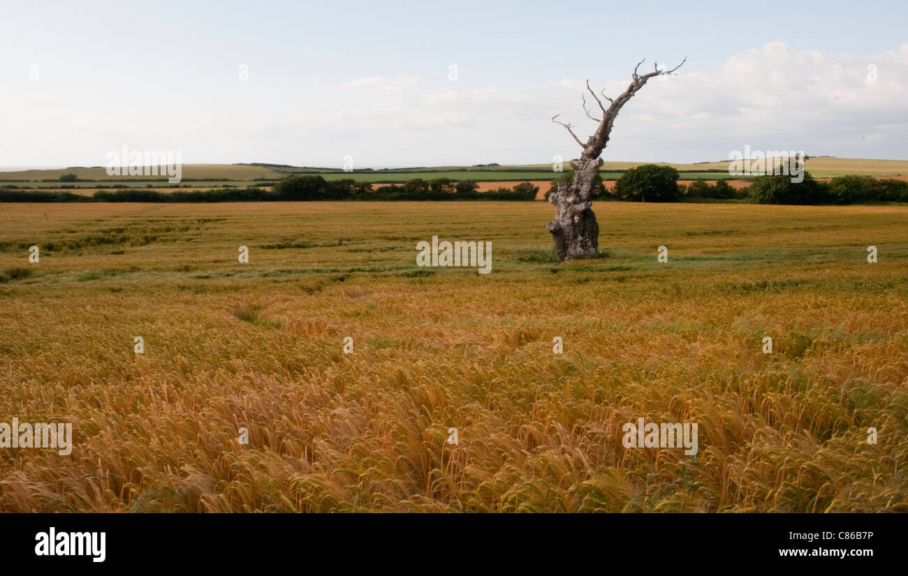 lonely dead tree - Stock Image