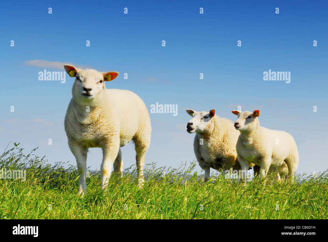 Three little lambs on island Texel, famous for its wool in Holland - Stock Image
