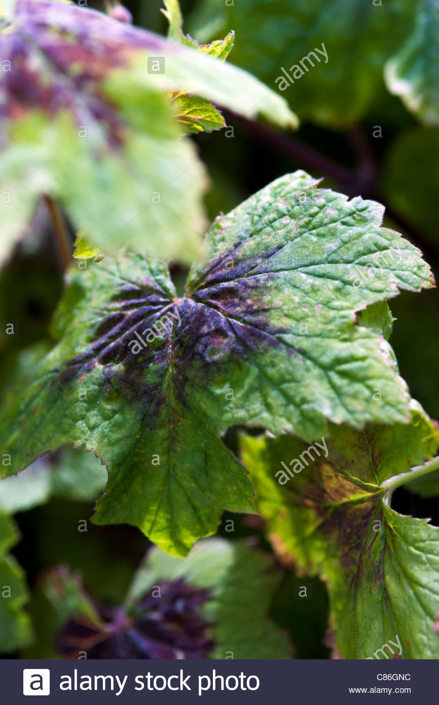 Pelargonium transvaalense (Species pelargonium, Transvaal perlagonium ) - Stock Image