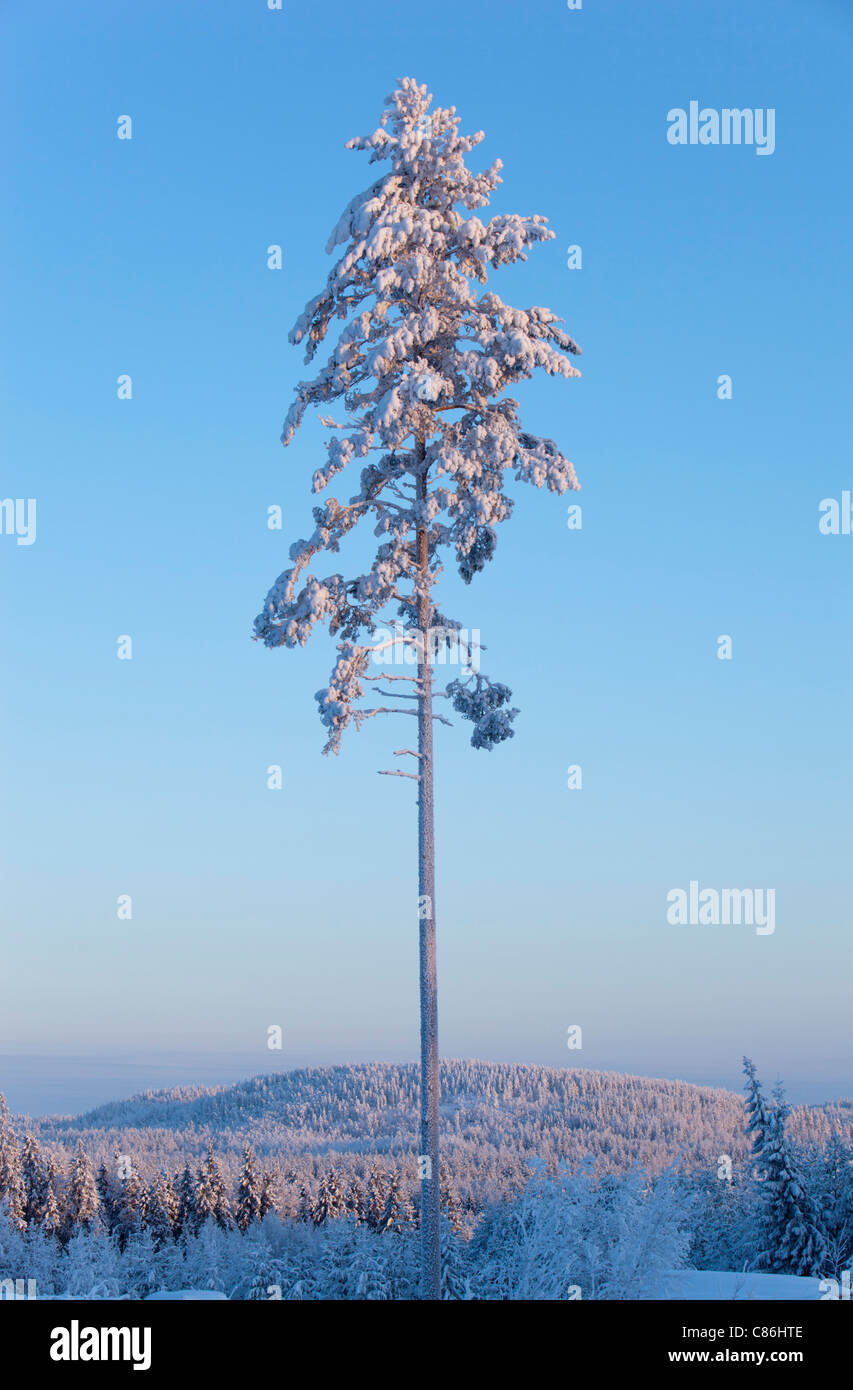 Frost and snow covered pine ( Pinus sylvestris ) tree at Midwinter (-25 C) , Finland - Stock Image