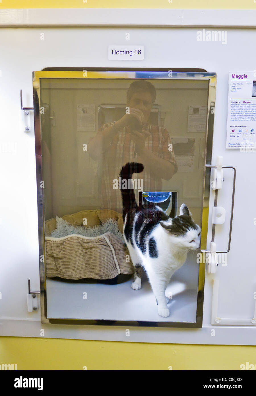 Young Maggie the cat waits to be adopted at the cats protection league adoption centre in Downham Market, Norfolk. - Stock Image