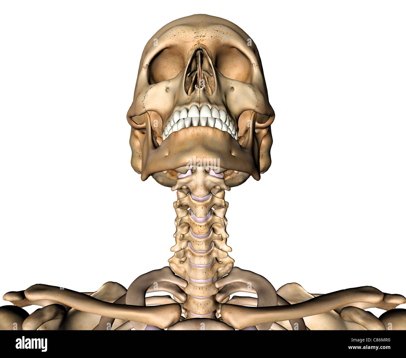 Anterior Skull and Cervical Spine Stock Photo: 39486020 - Alamy