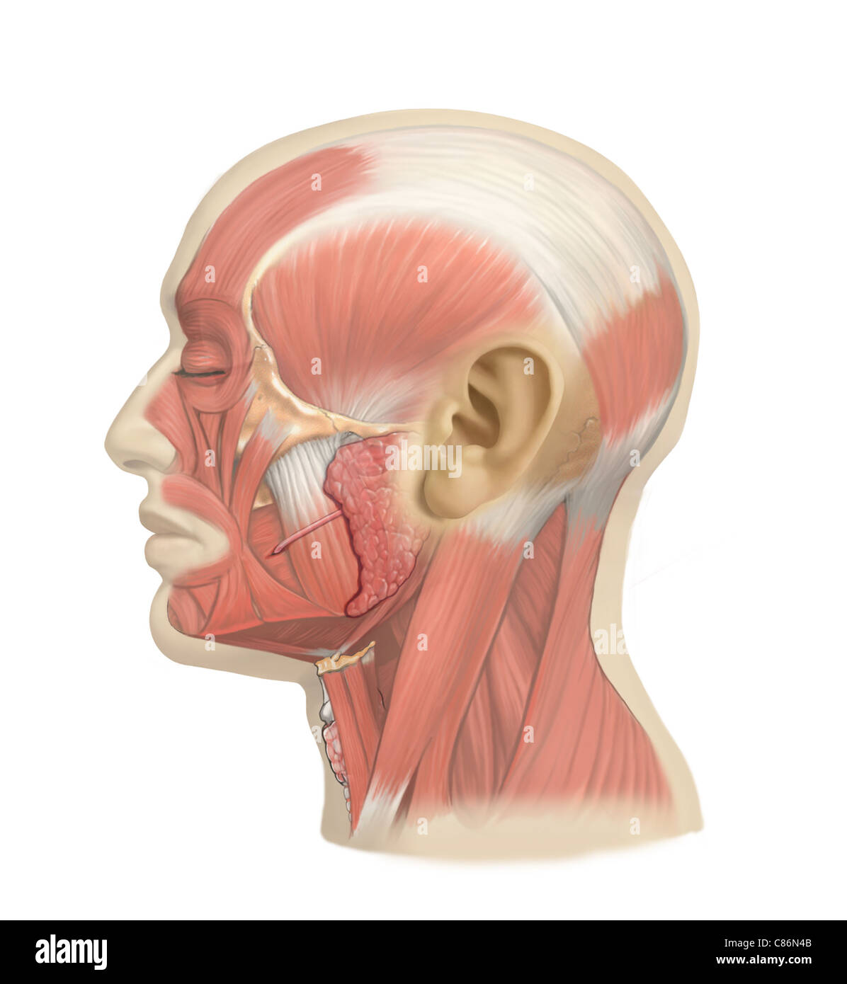 Parotid Gland Stock Photos & Parotid Gland Stock Images - Alamy