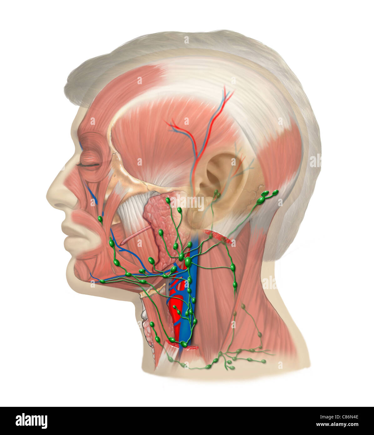Lymph Vessels And Nodes Of The Head And Neck Stock Photo 39486286