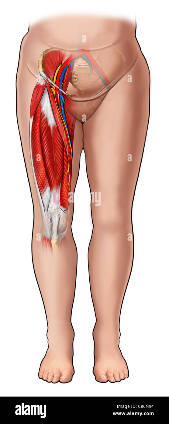 Inguinal Anatomy Stock Photos & Inguinal Anatomy Stock Images - Alamy