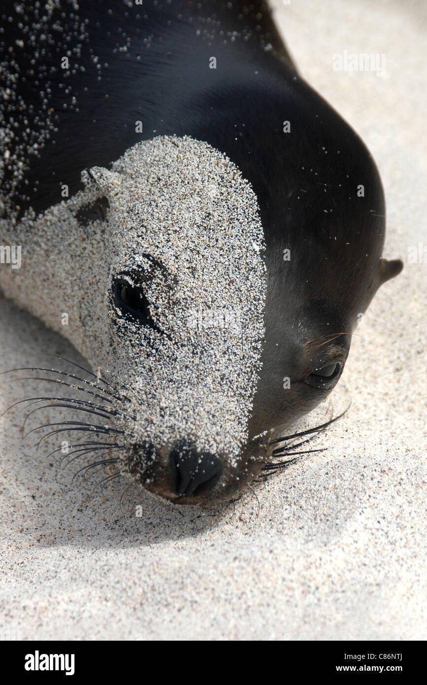 Galapagos sea lion (Zalophus californianus wollebacki) at the beach on Santa Fe Island, the Galapagos. Stock Photo