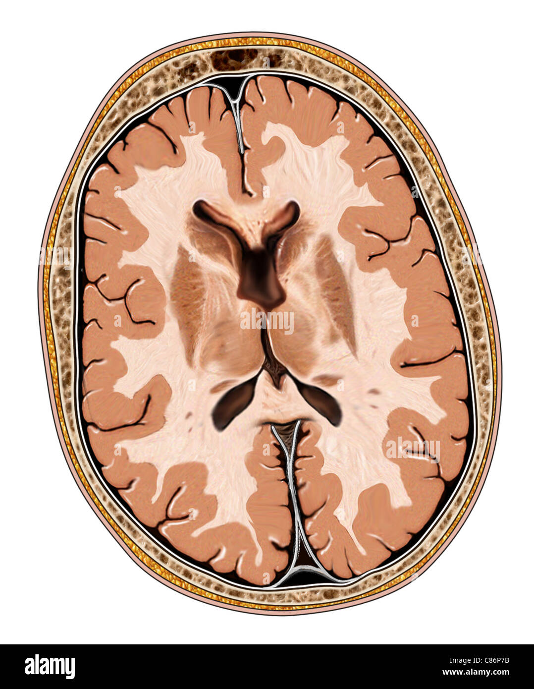 This medical illustration features an axial view of the brain. - Stock Image