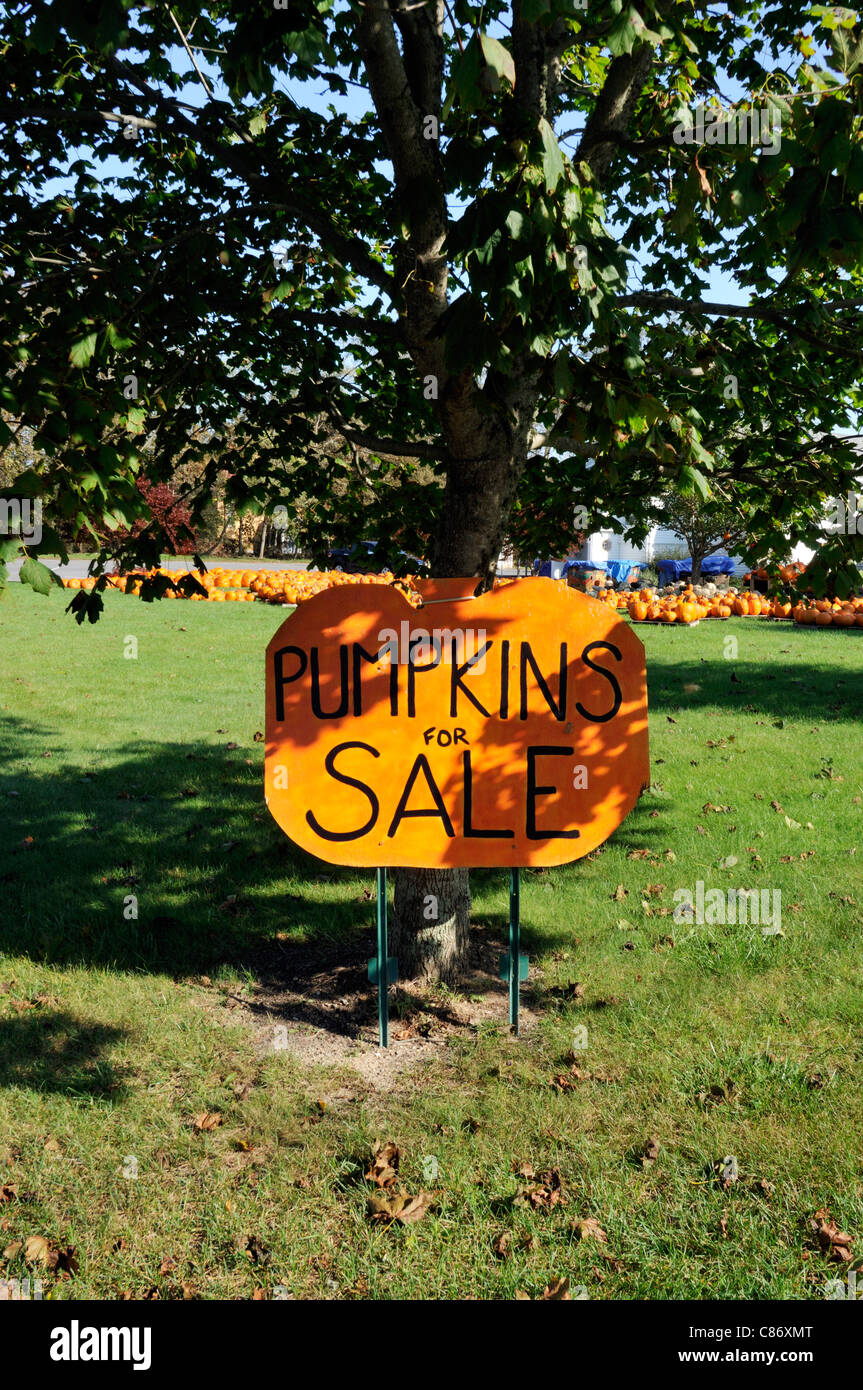 Pumpkins for sale sign leaning against a tree with lots of pumpkins in background on sunny fall New England day, - Stock Image