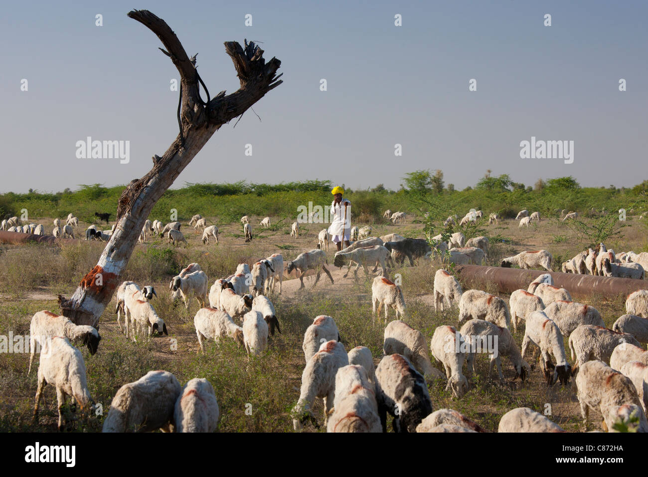 Goatherd with herd of goats in farming scene near Rohet, Rajasthan, Northern India - Stock Image