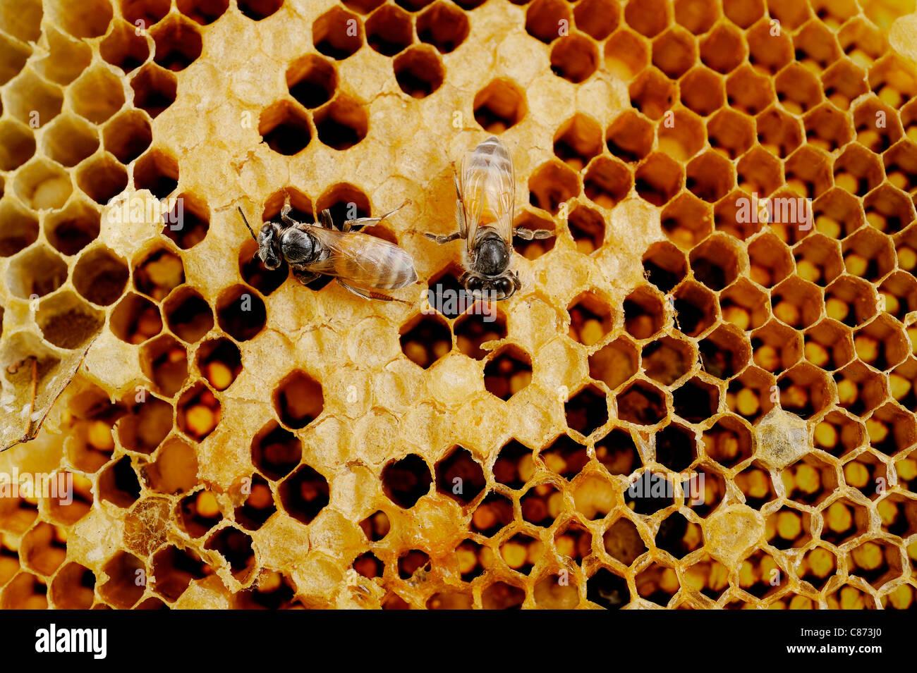 bee on honeycomb - Stock Image