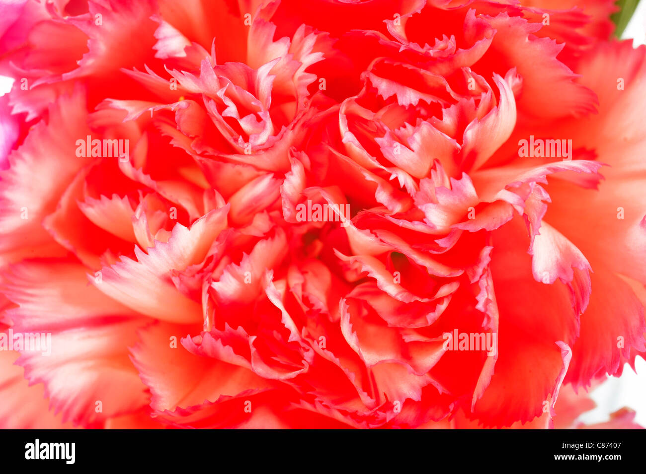 cose up of carnation - Stock Image