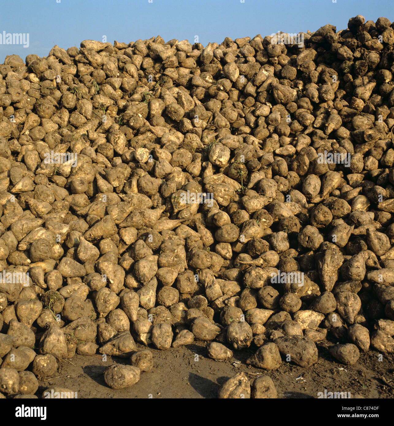Pile of harvested sugar beet roots awaiting collection by sugar refinery - Stock Image