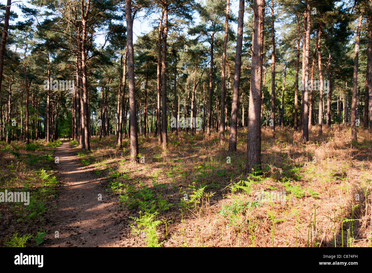 Coniferous woodland at The Sincks in Thetford Forest Park. - Stock Image