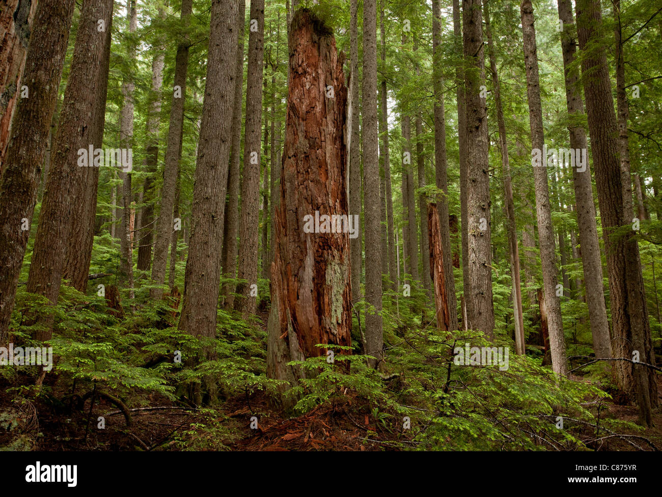 Red Cedar Forest ~ Western hemlock stock photos