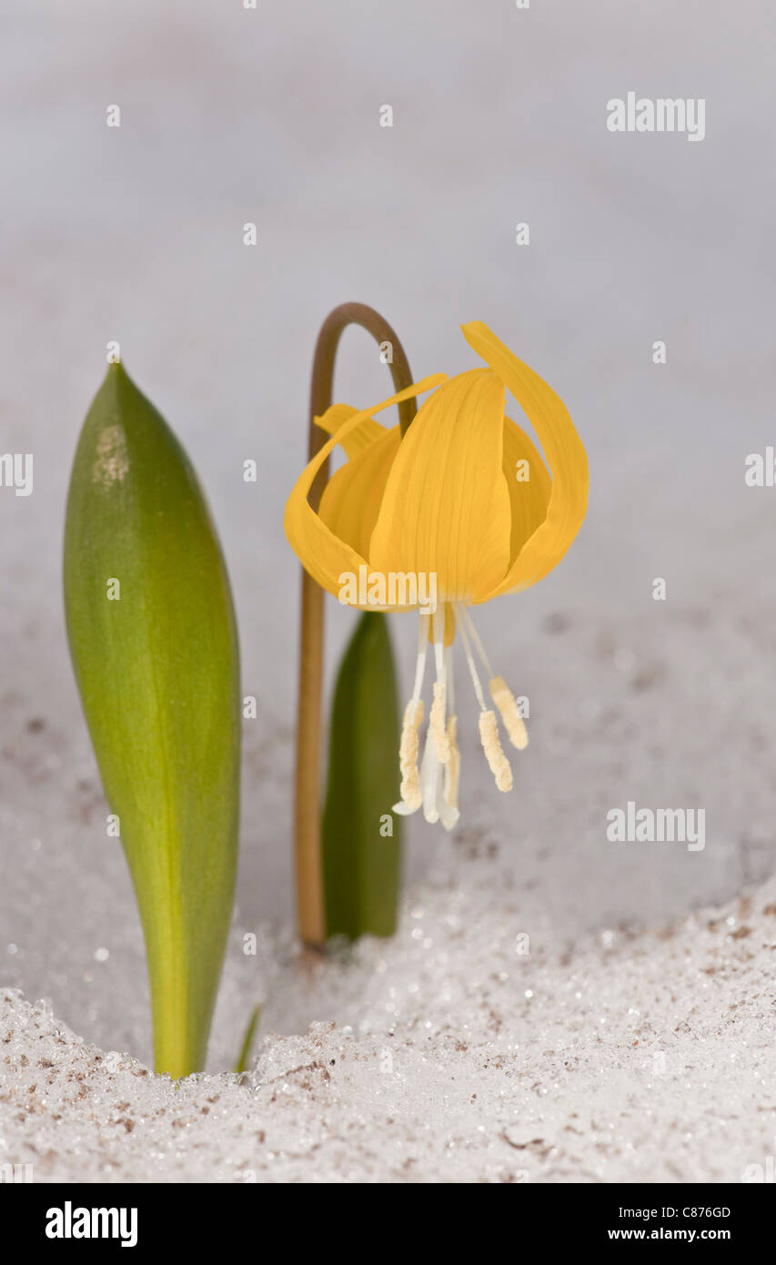Glacier lily, Erythronium grandiflorum pushing up through snow; Mount Rainier, Washington, USA. - Stock Image