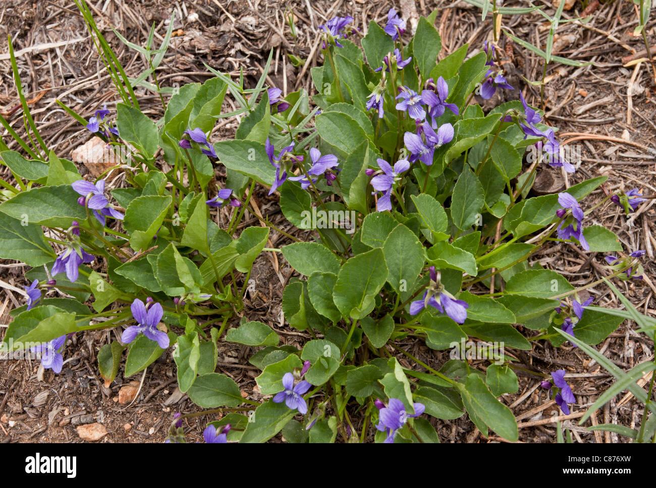A violet, Viola adunca, on mount eddy, california - Stock Image