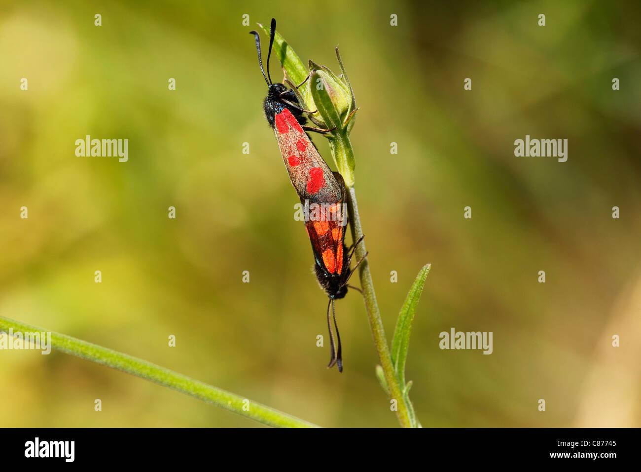Austria, Wachau, Close up of Six-spot Burnet mating on stem - Stock Image