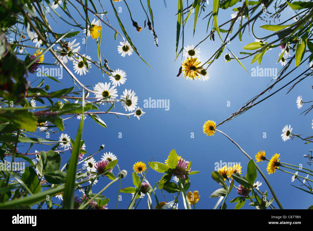 Germany, Bavaria, Upper Bavaria, Irschenberg, Upward view of flower meadow, close up - Stock Image