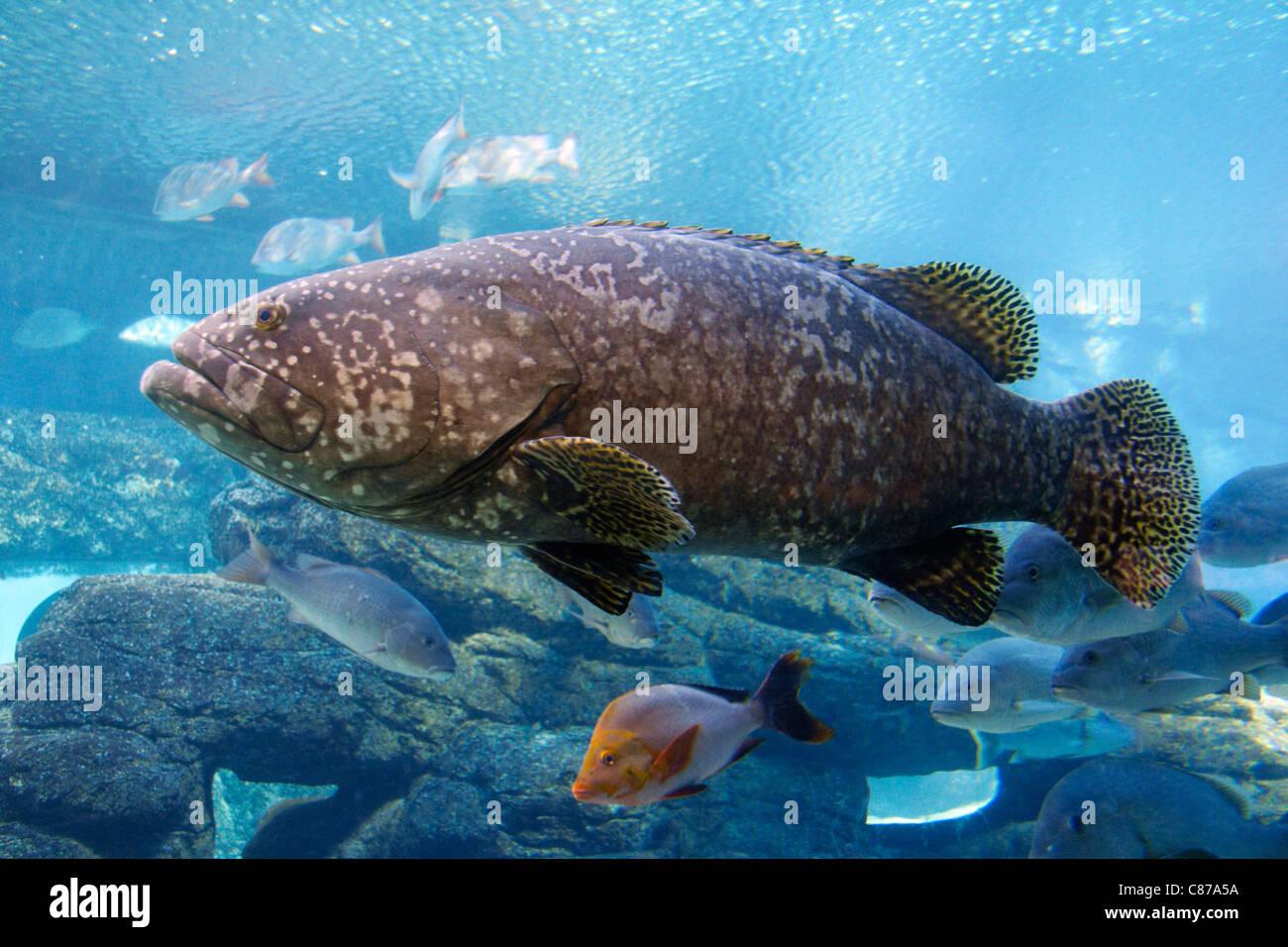 Brindle Bass at uShaka Marine World. Durban, KwaZulu-Natal, South Africa. - Stock Image