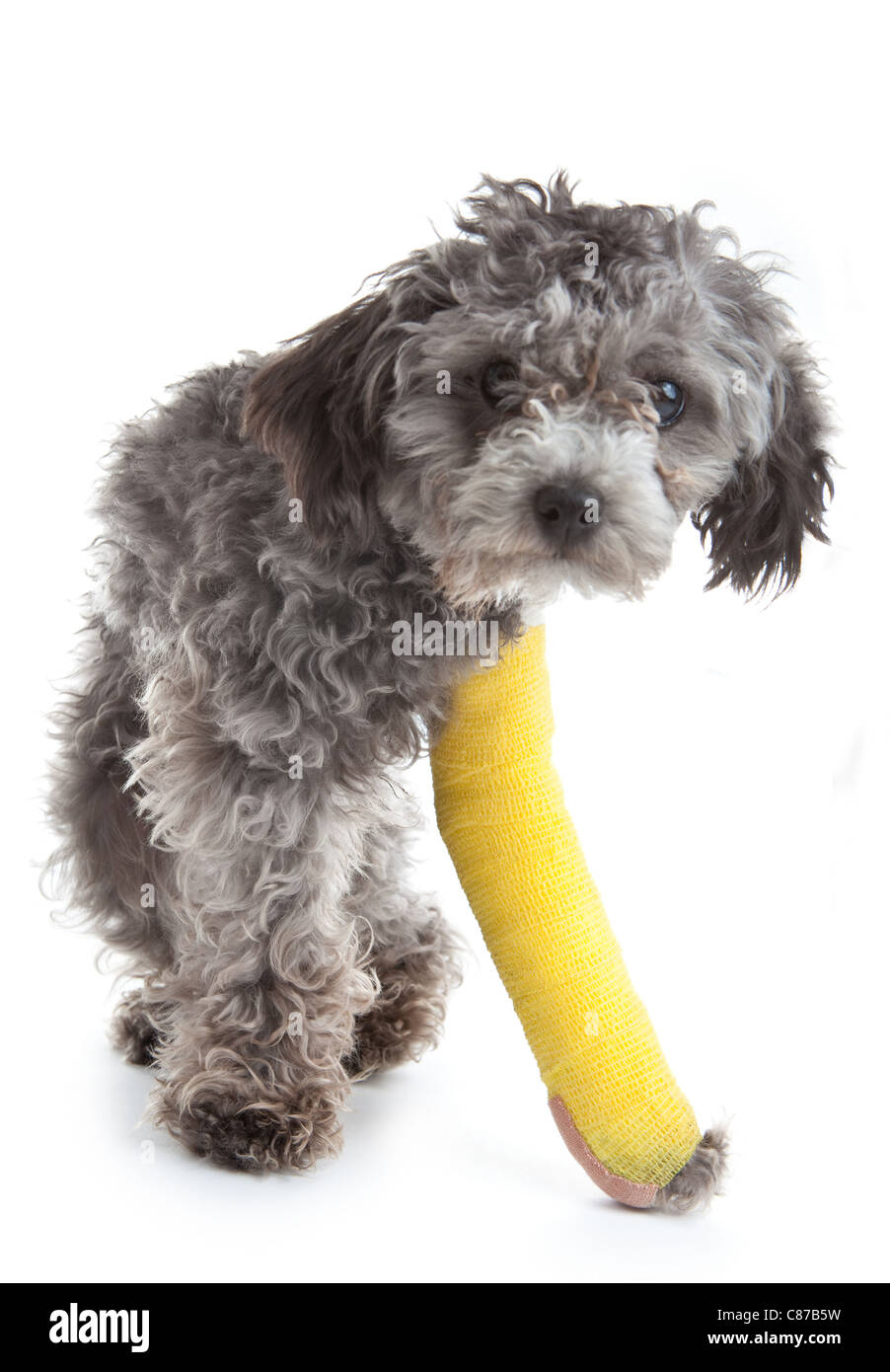 Dog with broken leg in a cast - Stock Image