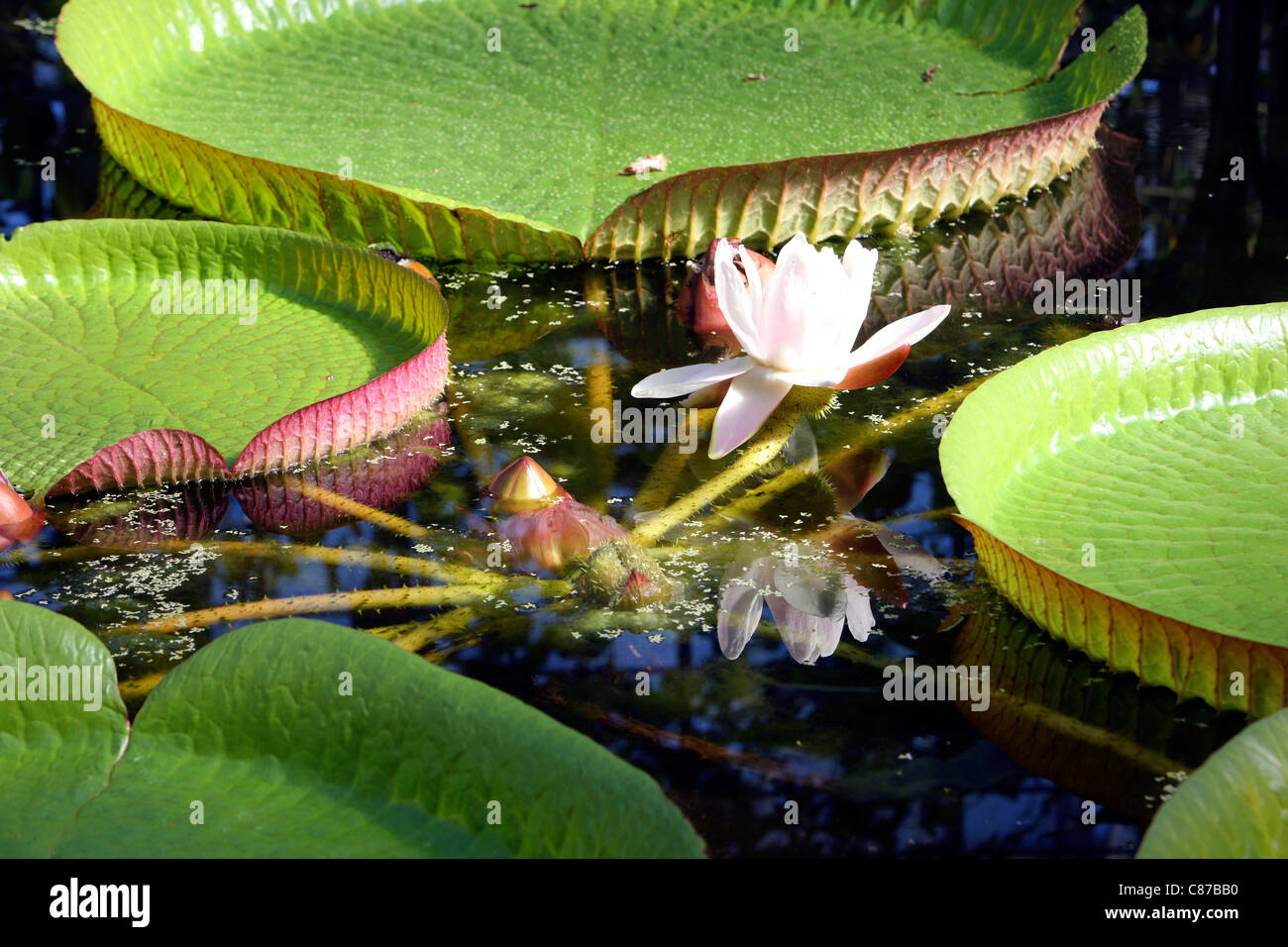 Victoria is a genus of water lilies, with very large green leaves that float on the water's surface. Stock Photo