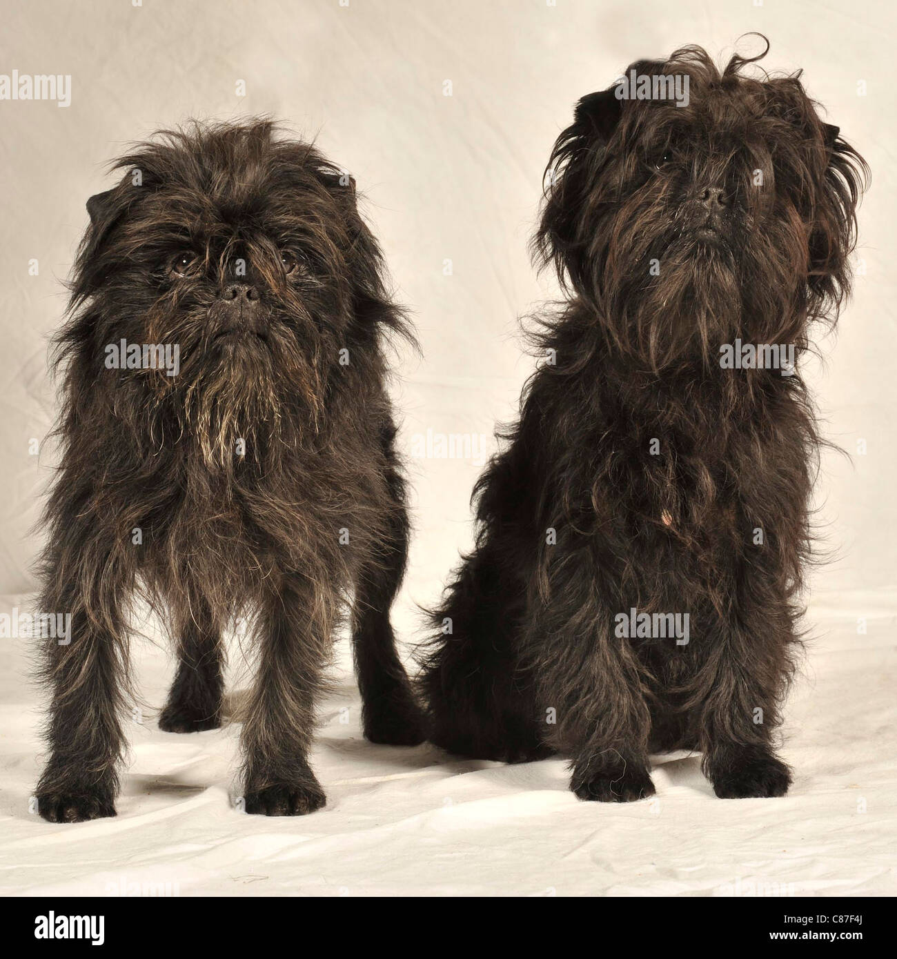 affenpinscher dogs - Stock Image