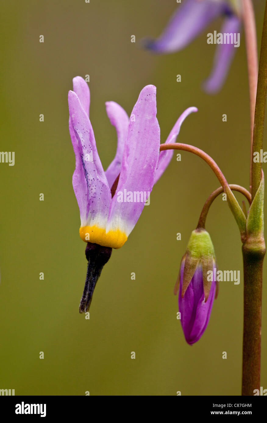 A Shooting star, Dodecatheon alpinum flower and bud, Mount Eddy, California. - Stock Image