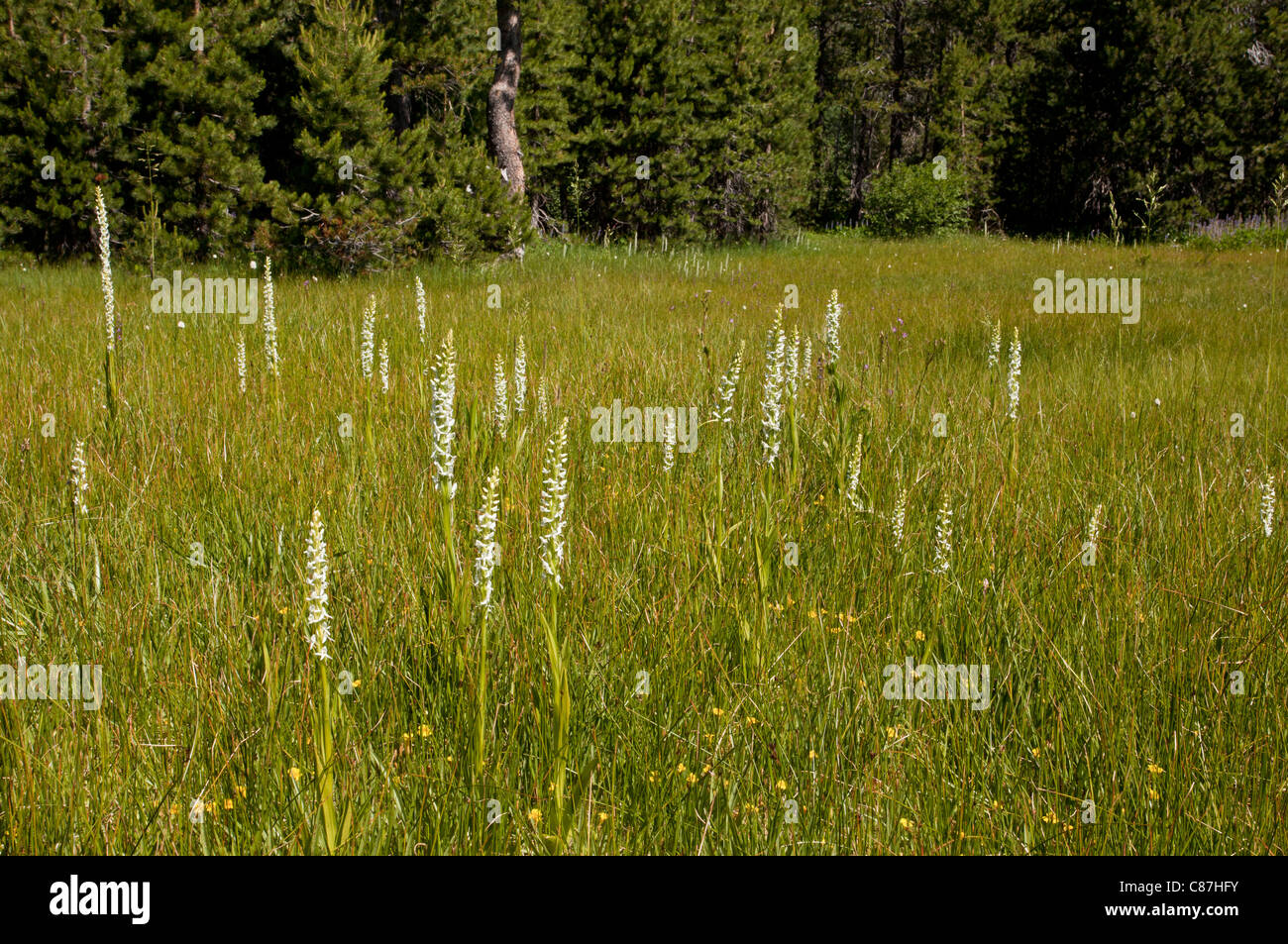 Sierra bog orchid or White Rein Orchid, Platanthera leucostachys in wet meadow, Yuba Pass, Sierra Nevada, California. - Stock Image
