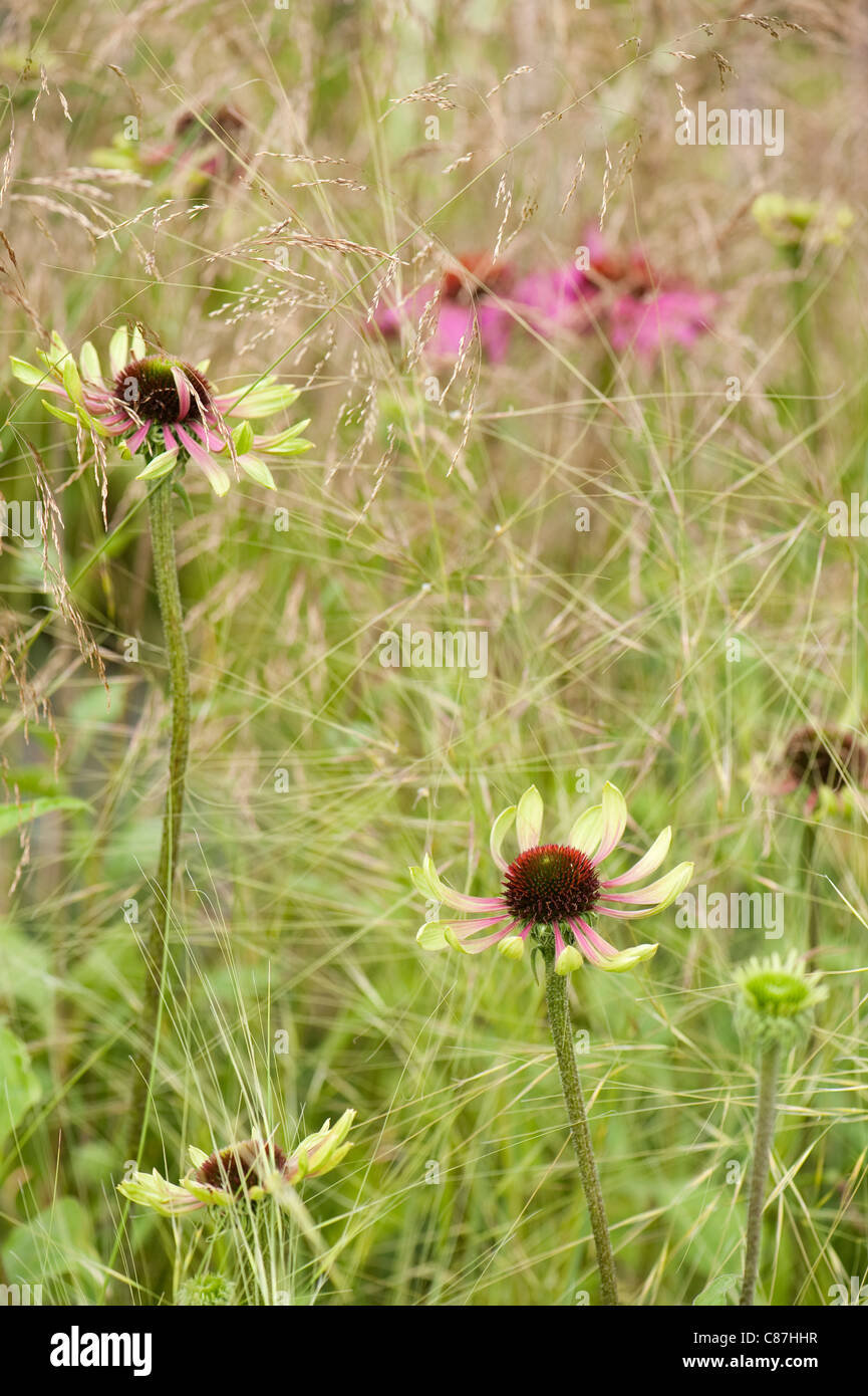 Echinacea 'Green Envy' with Stipa capillata 'Lace Veil' - Stock Image