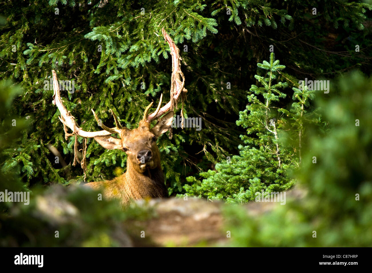 A Deer suddenly appears in the wood at Rocky Mountains National Park USA Colorado - Stock Image