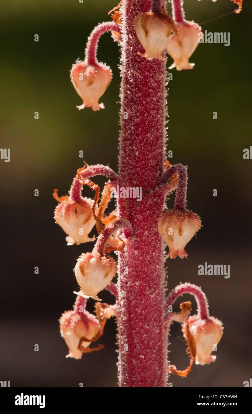 Pinedrops, Albany beechdrops, or giant bird's nest; Pterospora andromedea; a parasite or myco-heterotroph, in pine woods Stock Photo