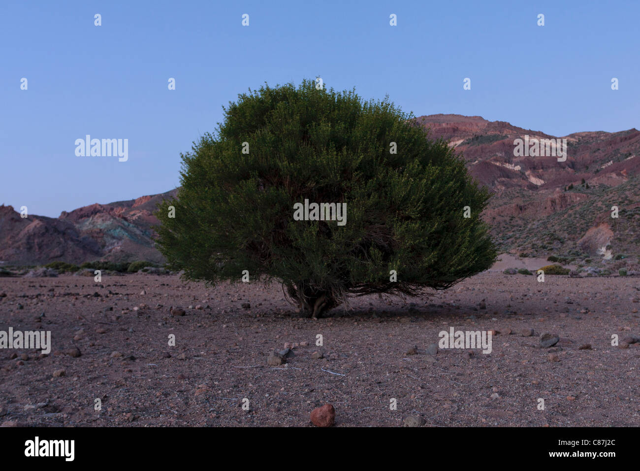 Retamar shrub on the Llano de Ucanca in the Las Canadas del Teide national park at twilight. Tenerife, Canary Islands, - Stock Image