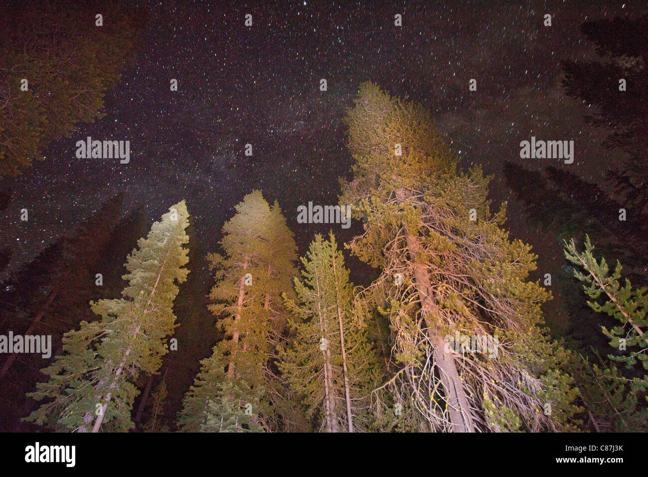 Mixed conifer forest at 6500 ft in the Sierra Nevada, mainly Lodgepole Pines, California by night showing stars. - Stock Image