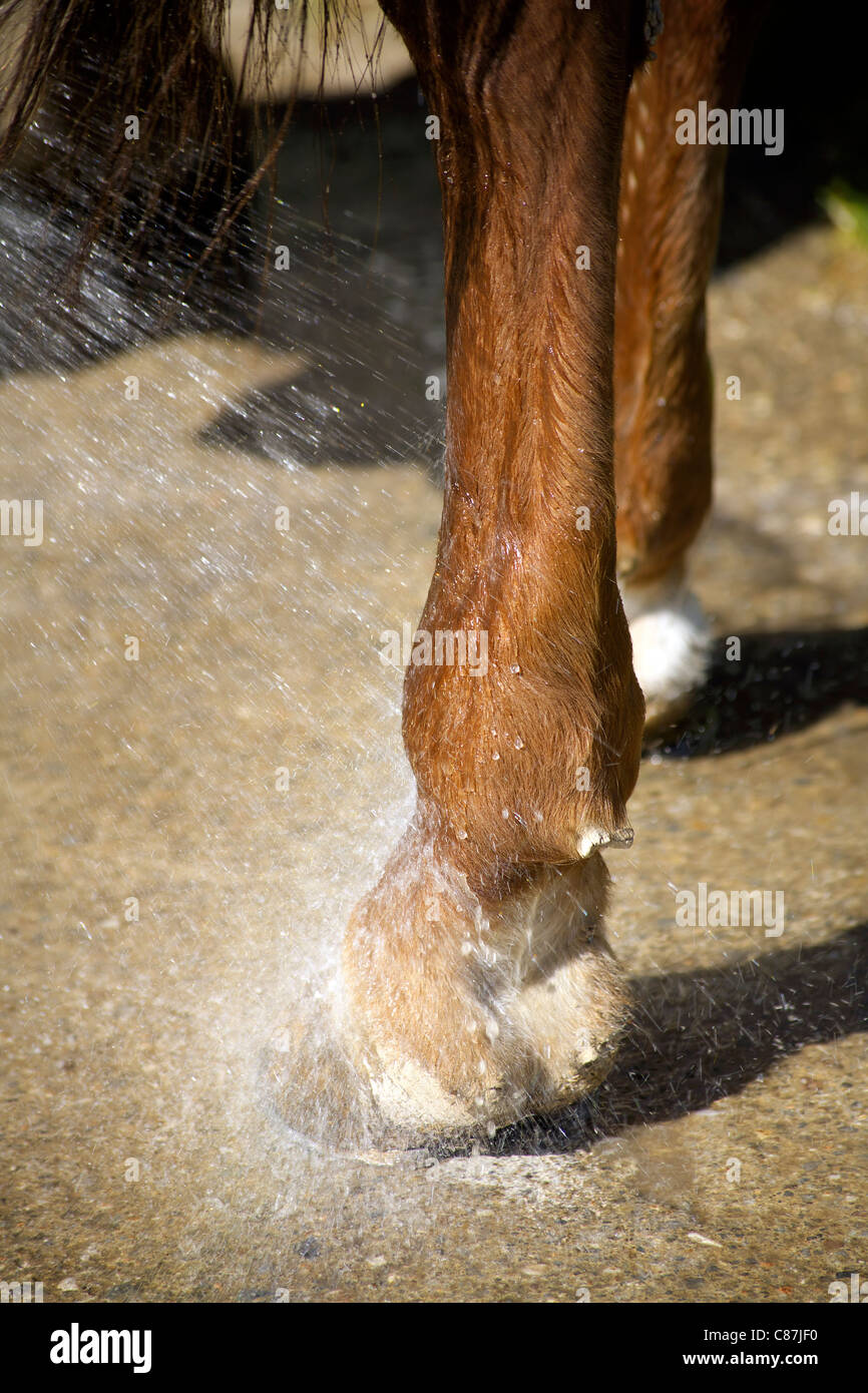 Horses hoof in the shower, hooves, wet, horse, horse's, water, rain, closeup, close-up, domestic animal, mammal, - Stock Image