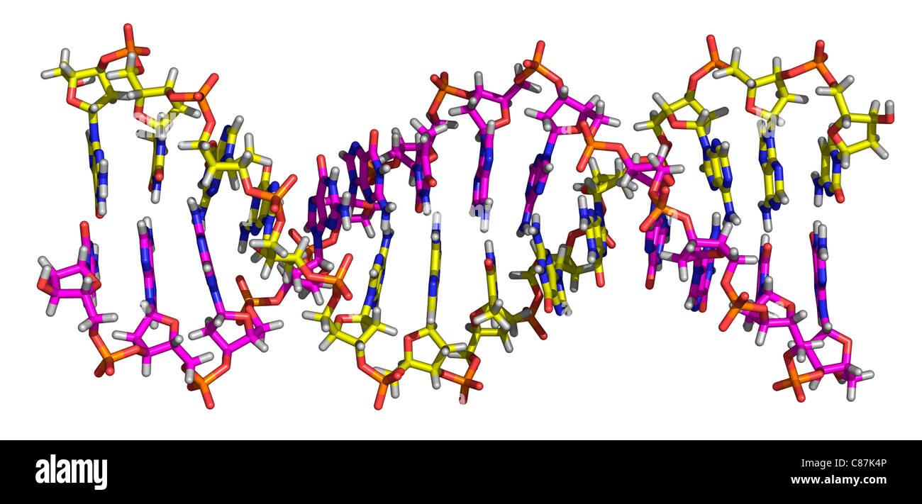 Molecule of Deoxyribonucleic Acid - Stock Image
