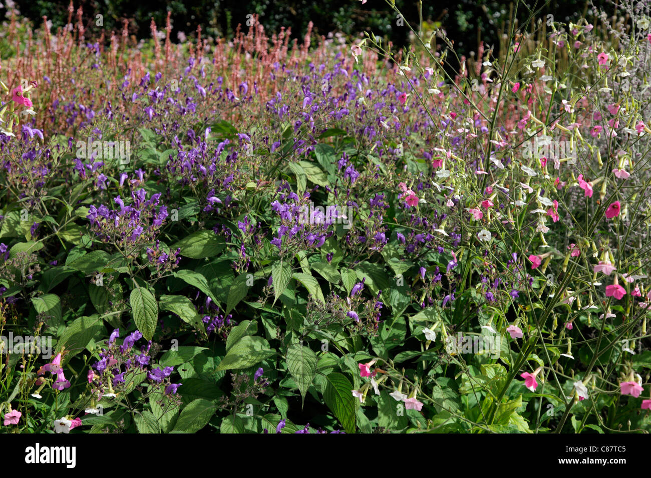Nicotiana mutabilis with Strobilanthes wallichii and Perovskia 'Blue Spire' - Stock Image