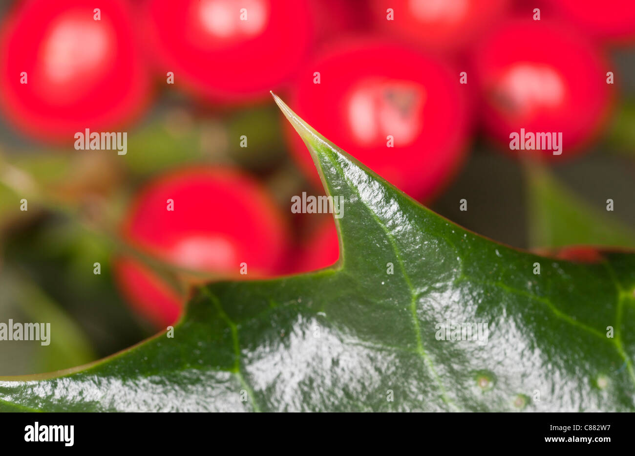 Leaf prickle of Holly, Ilex aquifolium, with berries behind. - Stock Image