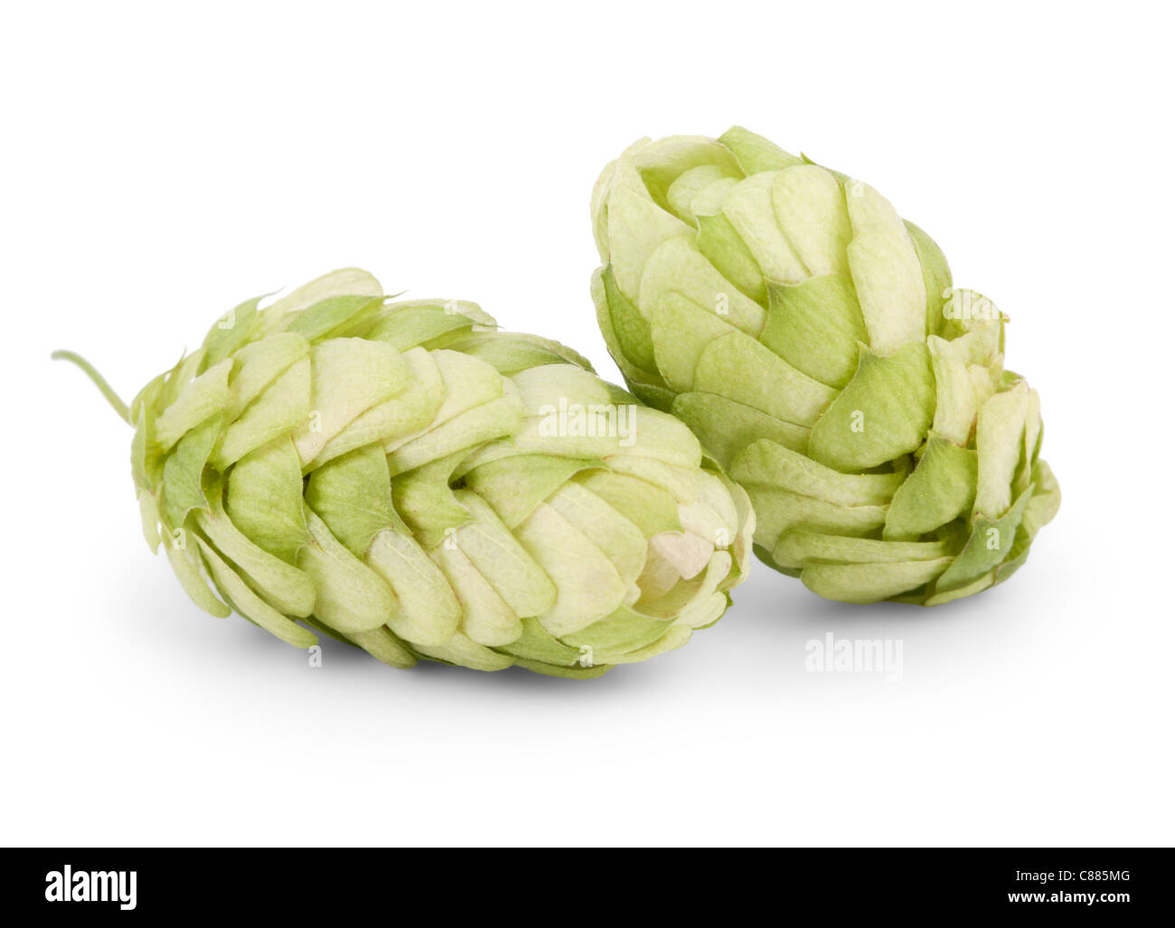 hops isolated on a white background - Stock Image
