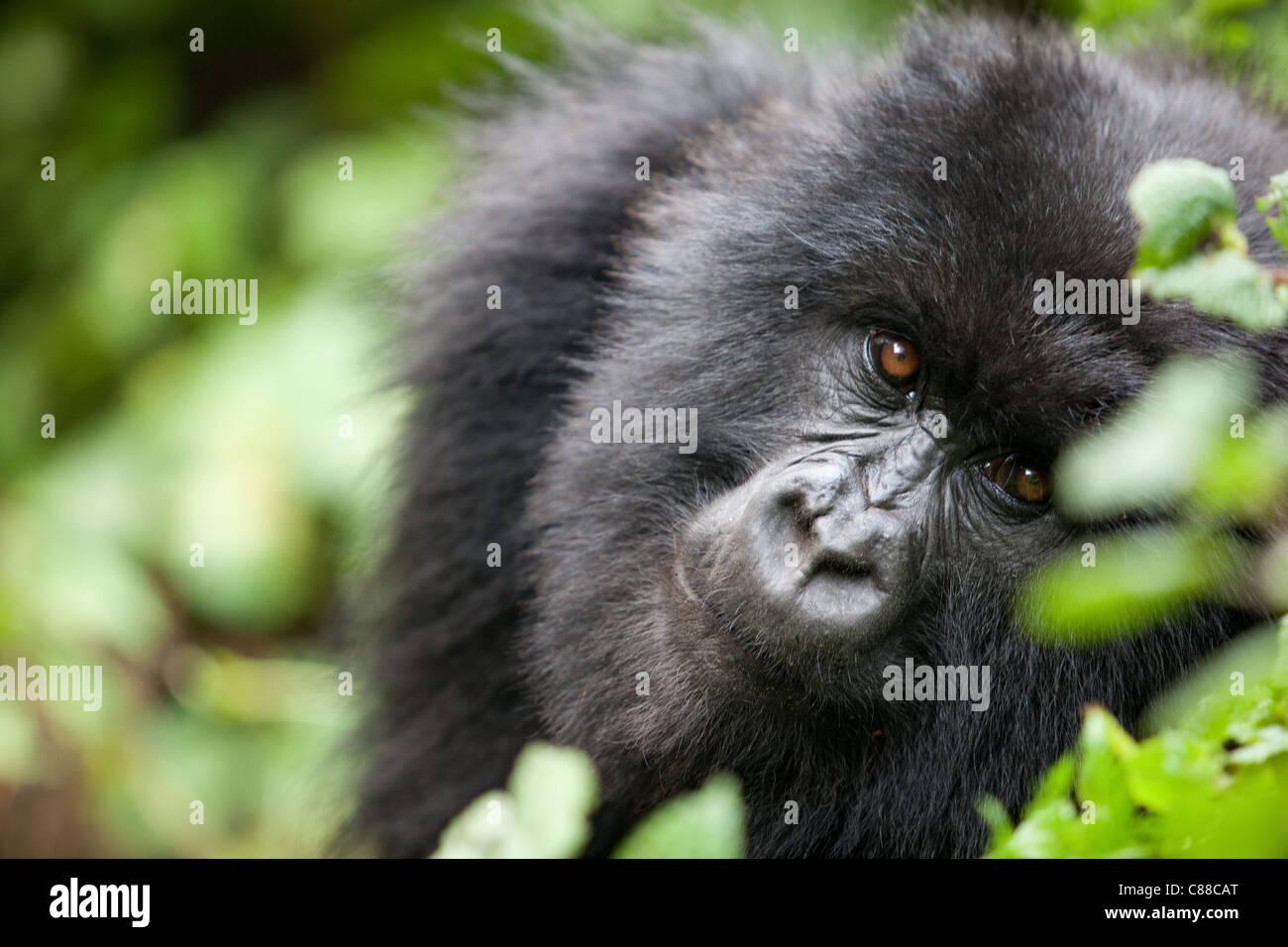 Adolescant Rwanda Mountain Gorilla - Stock Image