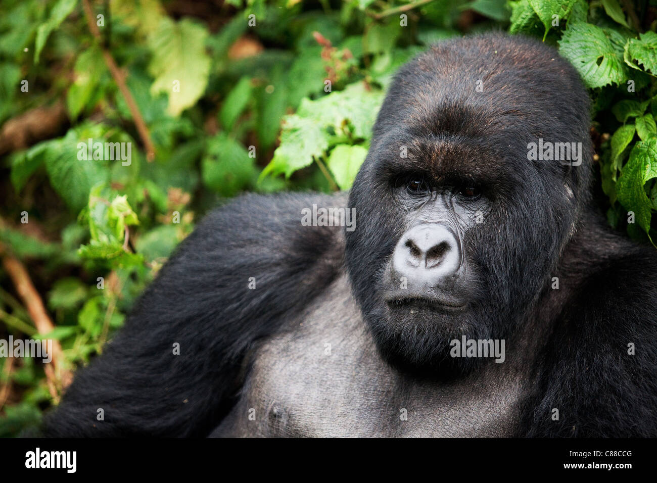 Rwanda Gorilla Silverback - Stock Image