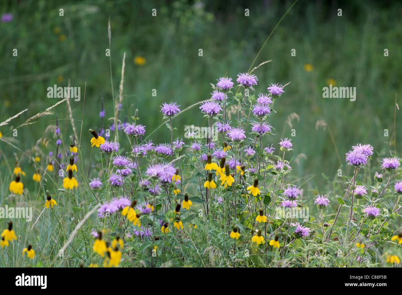 Bee Balm (Monarda fistulosa) and Yellow Coneflower (Ratibida pinnata) in Custer State Park in South Dakota Stock Photo